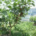 桑の実 果樹