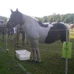 Die Pferde sind drei Tage in Paddocks untergebracht