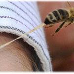 So kann es ausgehen, ein Stich, mit fatalem Ausgang für die Biene
