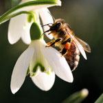 Biene auf einem Schneeglöckchen