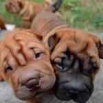 шарпей, шар-пей, щенок, щенки, shar pei, puppy, puppies
