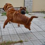 Шарпей, шар-пей, щенок, щенки, собака