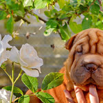 shar pei, puppy, шар-пей, шарпей, щенок, щенкиshar pei, puppy, шар-пей, шарпей, щенок, щенки