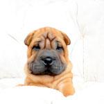 shar pei, puppy, puppies, шарпей, шар-пей, щенок, щенки