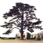 Un cèdre du Liban en France