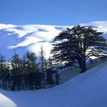 Des cèdres du Liban sous la neige