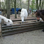 Volle Raufe = Ponyglück :-)