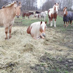 Unsere Ponys genießen ihren Winterurlaub auf der Weide...