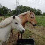 Max und Ginger genießen ihre Auszeit auf der Weide...