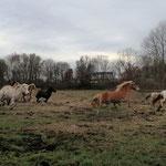 Auf der Urlaubsweide angekommen - alle Ponys im Freudengalopp!