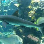 Requin à pointe noire....
