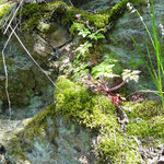 Silikatfelsen mit Felsspaltenvegetation sind an mehreren Stellen im Zwettltal gegeben.