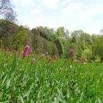 Wiese an der Zwettl mit Schlucht- und Hangmischwald im Hintergrund (Lizenz: Pierre Vérité, CC BY-SA 3.0).