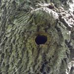 Alte Bäume mit Bruthöhlen befinden sich unmittelbar im Projektgebiet. Sie bieten sowohl kleinen ...