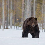 Ours Brun