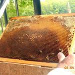 """Recherche de jeunes larves sur un cadre provenant dans la ruche """"mère"""". Prendre des larves de moins de 3 jours si possible..."""