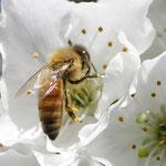 Bienen im Alten Land