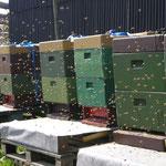 Bienenvolk Obsthof Köpke