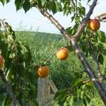 des abricots gros comme  des oranges