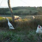 voisine brebis vient voir Pingouine et Galipette