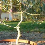 le petit olivier du quartier des Oliviers a donné sa première paillette