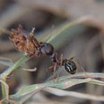 Deutsches Schwarzbrot mögen italienische Ameisen besonders gerne.