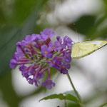 Endlich ein Schmetterling, der still hält.