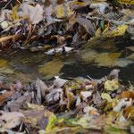 Da sieht man den Bach vor lauter Blättern (fast) nicht.