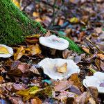 Wanderung in der Markt Wiesenttal - Pilze, hübsch aufgereiht