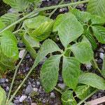 アマチャヅル 葉