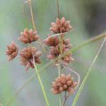 マツカサススキ 褐色の小穂