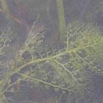 タヌキモの仲間 葉・捕虫嚢