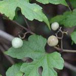 キレハノブドウ 葉に切れ込みがある