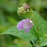 ワタラセツリフネソウ、白斑型で花が小さく花色が薄いもの
