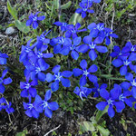 blau blüht der Enzian,am Furkapass