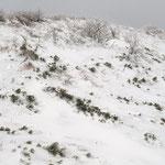 雪と氷に囲まれたハイマツと潅木