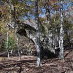 ミズナラの巨樹(大人四人で抱えられるか?樹齢800年らしい)