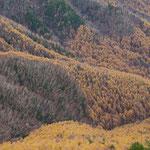 カラマツ林とシラカバ林