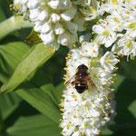 コバイケソウにミツバチが仕事中