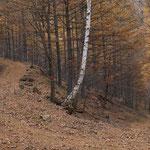 落葉松の絨毯林道。もう少しでP着