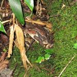 刈込湖の付近でキノコを探していたら大きな蛙が静かにこちらを見ていた