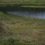 鏡池の手前にヒメシャクナゲの群落