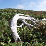 風の強さを感じる枯れ木・奥はスダレ山