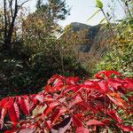 今日はウルシと山ぶどうの葉の紅葉が一番綺麗でした