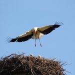 Storch -Flugübung