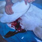 Dieser Schwan wurde von einem freilaufenden Hund zerbissen, er verblutete.