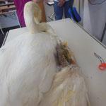 Gebrochener Schwanenflügel wurde genagelt und geschient, nach 4 bis 6 Wochen werden die Nägel u. die Schiene entfernt.