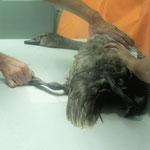 Das Kniegelenk dieses Jungschwans wird geröngt, er hat einen Schlag auf das Gelenk bekommen. Das Gelenk ist dick geschwollen, dass Bein wird der Schwan sehr lange nicht bewegen können.