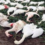 Foto Ostseezeitung- Über 50 Schwäne wurden von Jägern erschossen. Wir informierten die Tierschutzorganisation  PETA über das Massaker. PETA erstattete Anzeige gegen die Jäger.