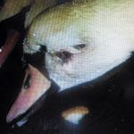 Schwan mit einem Streifschuß im Gesicht. Die Wunde wurde gereinigt u. Tierärztlich versorgt. Es dauerte lange bis die letzten Schwellungen abgeheilt waren.